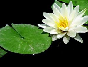 lotus-716719_1280